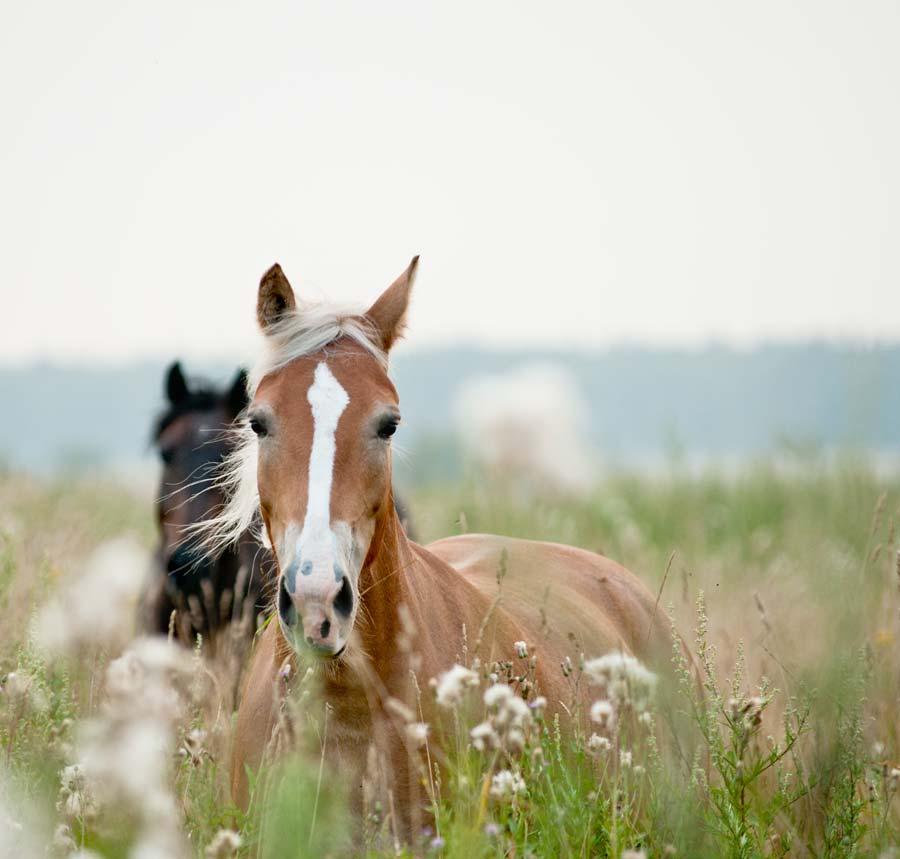 Pferde im hohen Gras